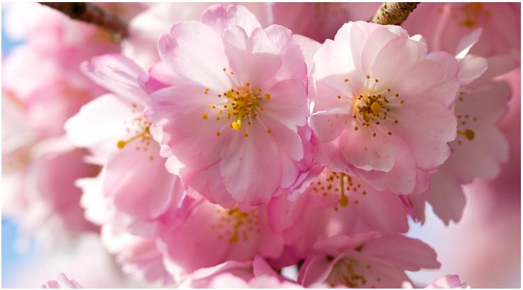 cherry-blossoms